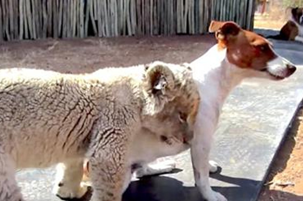 This Newborn Lion Cub Thinks She's A Puppy