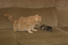 Mother Cat Adopts Orphaned Baby Rabbit (Video)