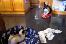 Sneaky Cats Sleeping In Dogs Beds (Video)