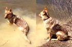 German Shepherd Throws Massive Tantrum When She Has To Get Out Of The Water