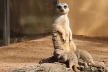 Baby meerkats explore the world for the first time!