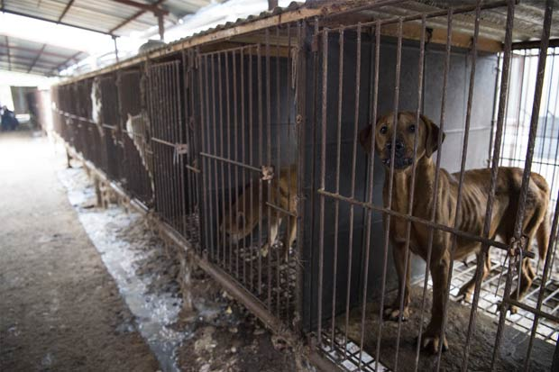 Dogs rescued from South Korean dog meat farm