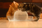 See what kittens do when they are given a big ball of ice