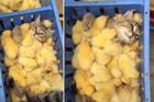 Cat bathes in a sea of baby chicks